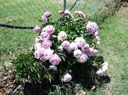 Identify Flowers - identifying this flowering bush