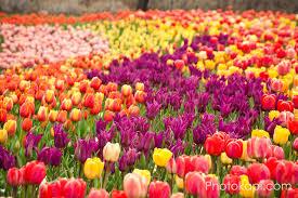tulip festival 2013 photokapi