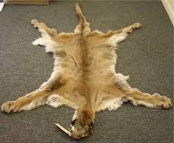 lions for sale glacier wear mountain lion pelt for sale