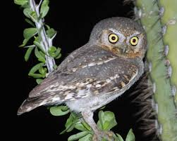 elf owl audubon field guide
