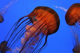 wallpaper jellyfish 4k 5k wallpaper pacific sea nettle georgia