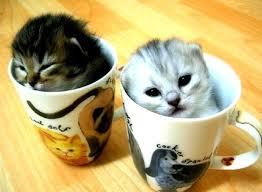 Hair Dryer Khusus Kucing kucing teacup miniature cat www kucing biz