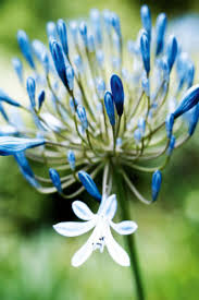 homelife how to grow agapanthus