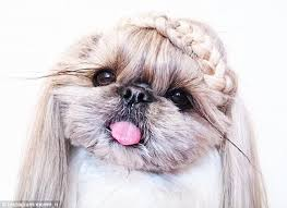 haircuts for shih tzus males shih tzu showcases hairstyles before they appear on the catwalks