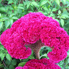 coxcomb flower cockscomb blood showy 100 seeds