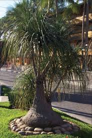 154 best ponytail palm images on ponytail ponytail
