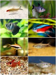 Diy Aquascape How To Choose Freshwater Aquascaping Fish Species U2013 Beginners U0027 Guide