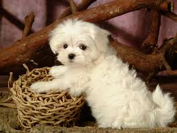 cute maltese dog wide hd wallpaper for desktop background