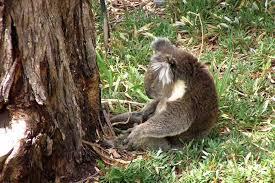 farcical u0027 fines destroying koala habitat forest