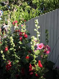 hollyhock flowers how to grow hollyhock alcea flowers gardening channel