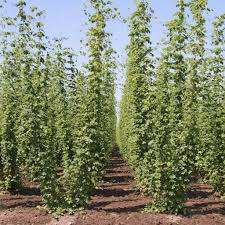 pre order your hops rhizomes from castle rock castle rock