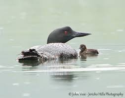 nature can be so cruel loons losing ground