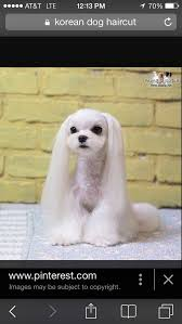 joypia yorkshire haircuts 83 best maltese images on pinterest doggies dog grooming and