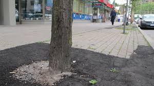 asphalt is the wrong stuff to pack around sidewalk trees the