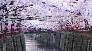 tokyo u0027s best cherry blossom spot meguro river 初めての目黒川花見