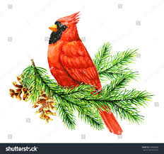 red cardinal bird on pine brunch stock illustration 516958096