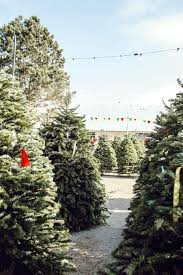 christmas tree prices real christmas tree shopping for tree via finding beautiful