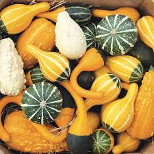organic non gmo ornamental gourd mix