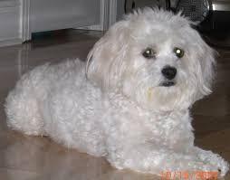 d douglas bichons frise 516 best sweet dogs images on pinterest bichons animals and