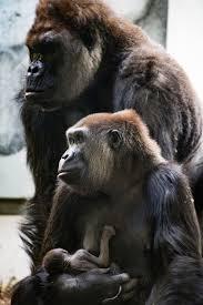 100 gorilla resume cincinnati zoo kills gorilla save child