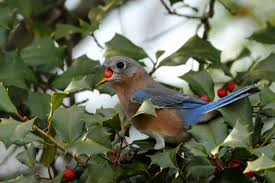 native berries for birds better than feeders and feed birds in