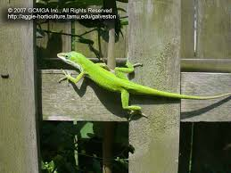 beneficial lizards in the landscape 19 green anole lizard