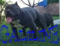 american pitbull terrier kennels usa american pit bull terrier breeders and kennels american pit bull