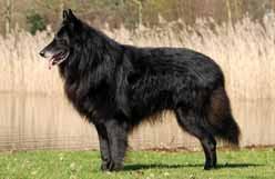 belgian shepherd kijiji canadian kennel club club canin canadien