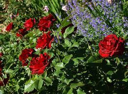 rose dame de coeur queen of hearts the landscape of us