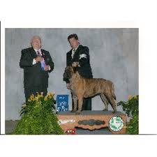 affenpinscher puppies for sale in texas hagensbullmastiff bullmastiff breeder in san antonio texas