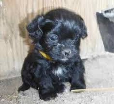 shih tzu with curly hair shihpoo puppies archives sunny day puppies