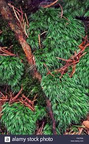 Pin Cushion Tree Pincushion Moss Stock Photos U0026 Pincushion Moss Stock Images Alamy