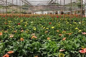 Westwood Flower Garden - flower farm picture of westwood highland cameron highlands