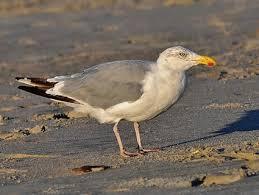 Nj Backyard Birds by Herring Gull Identification All About Birds Cornell Lab Of