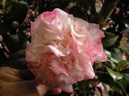 camellia care u0026 culture notes u2013 camellia glen nursery