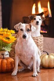 thanksgiving dog 90 best jack russell terriers images on pinterest jack russells