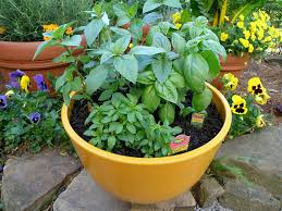 growing basil bonnie plants