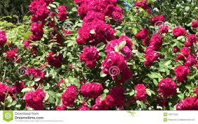 rose flowers in the garden full hd stock video video 40811563