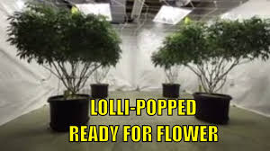 Light Cycle For Weed Indoor Vegging Marijuana Plants Week 5 Lollipopping Watering