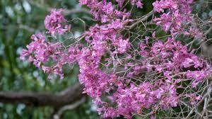 trumpet tree varieties u2013 yellow white pink and purple flowers