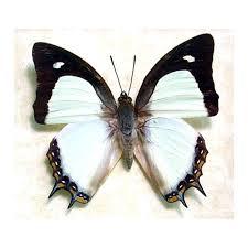 polyura jalysus butterfly designs framed butterflies
