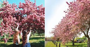 blossom trees here s where in ottawa these gorgeous cherry blossom trees will