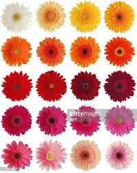 gerbera daisies gerbera stock photos and pictures getty images