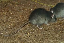 what do rats in the attic sound like native pest management