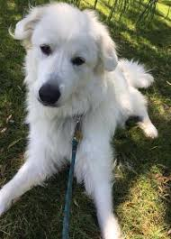 great pyrenees rescue provides wonderful dogs to good homes know the breed national pyr rescue