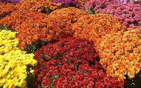 fall blooming flowers spring planting for fall flowers house plans and more