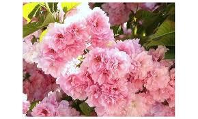 60 on kwanzan flowering cherry tree groupon goods