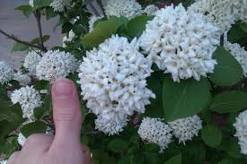 white flower that grows in a big of tiny blossoms flowers