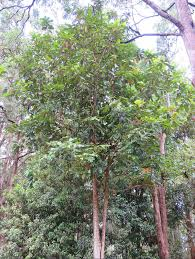 native plants brisbane atherton almond athertonia diversifolia local native plants