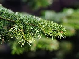 dural christmas tree farm shopping in sydney dural